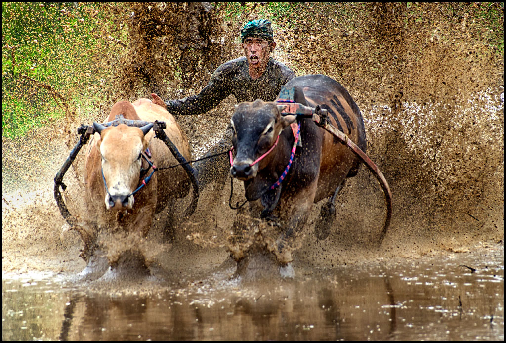 Pacu Jawi or Bull Race in Padang.