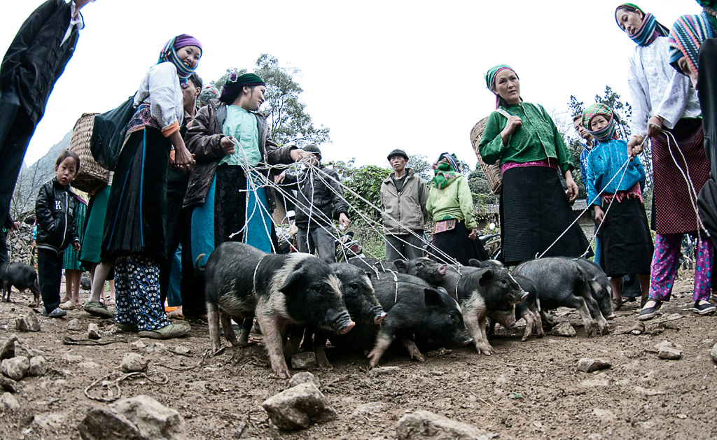Pigs for sale. Pork is the main meat consumed by the locals