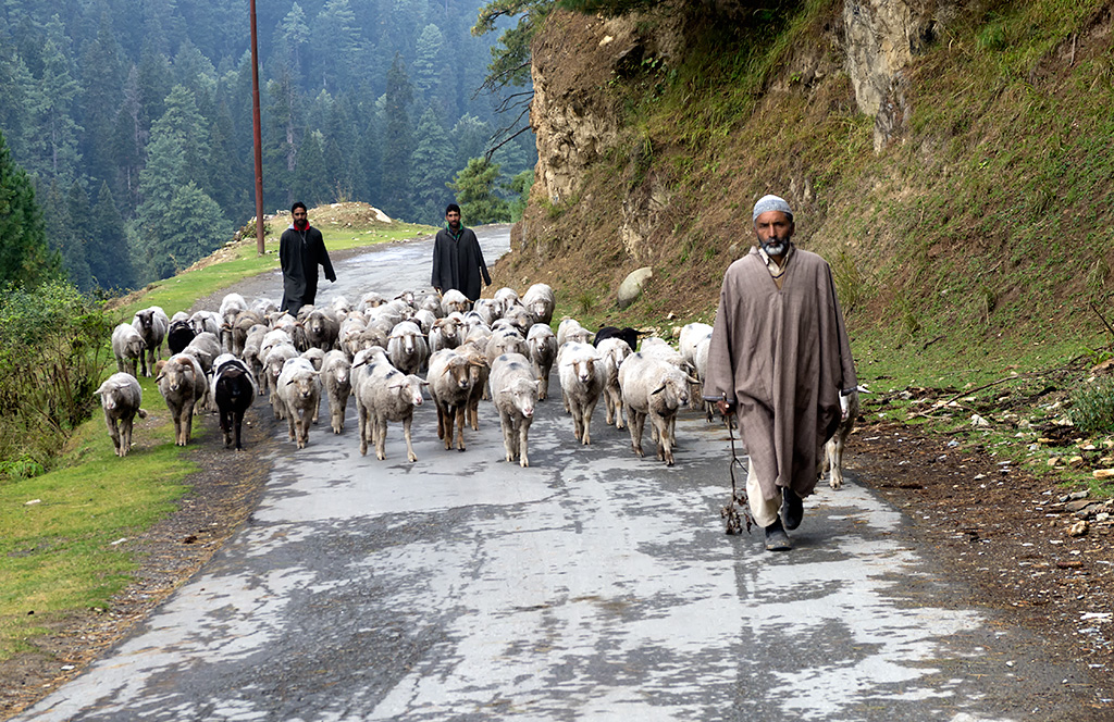 A local shepherds leading their  flock along the road to Betaab Valley.