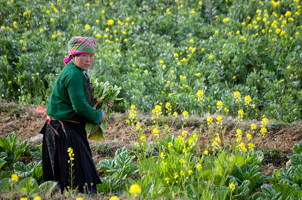 The villagers were harvesting white carrots and preparing the fields for rice planting.