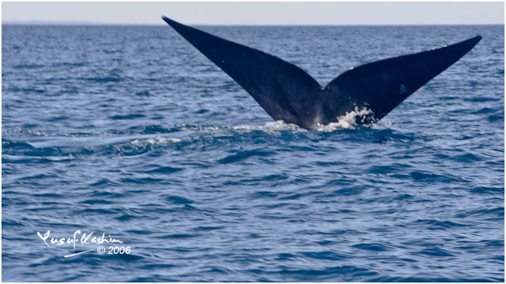 Breeching Whales off Punta Valdez in Argentina