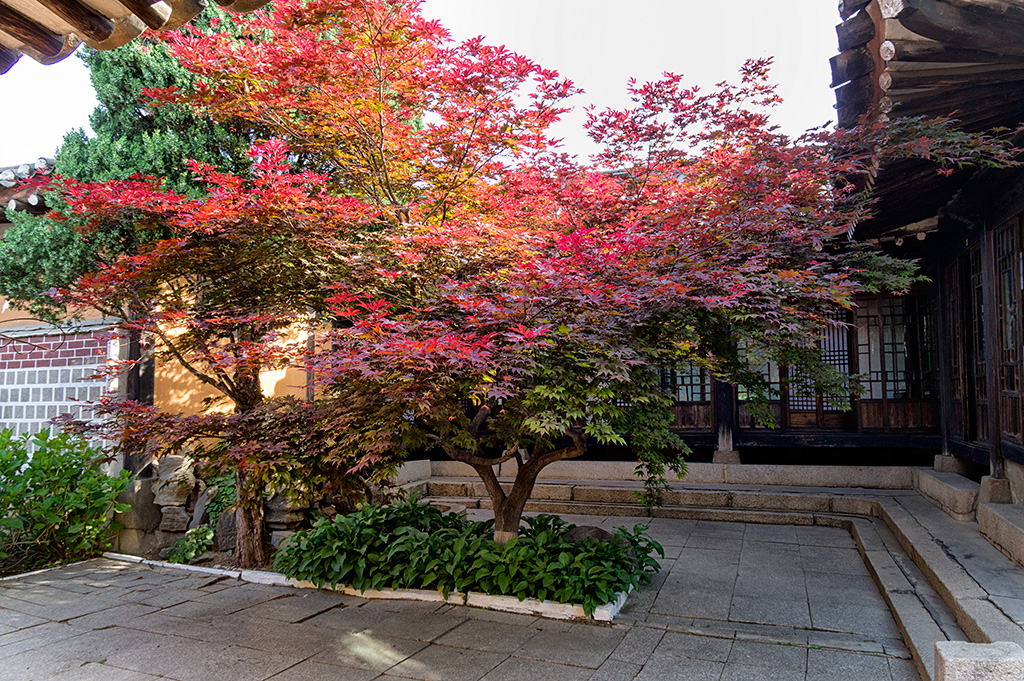 Beautiful maple trees are planted in the courtyard.