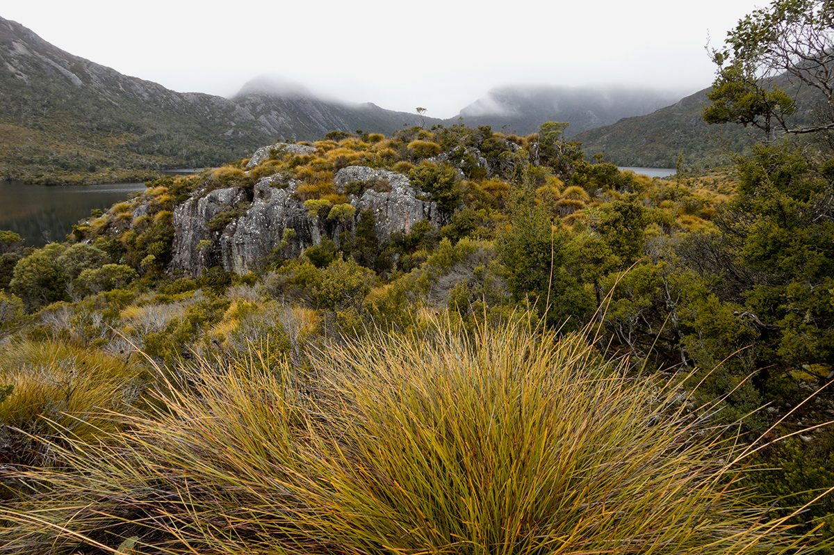 Button Bushes, Cradle Mountains