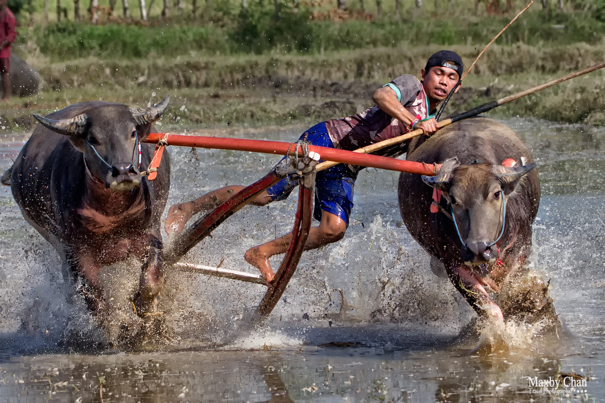 The jockey was trying to steer the pair of buffaloes to hit the sakar.